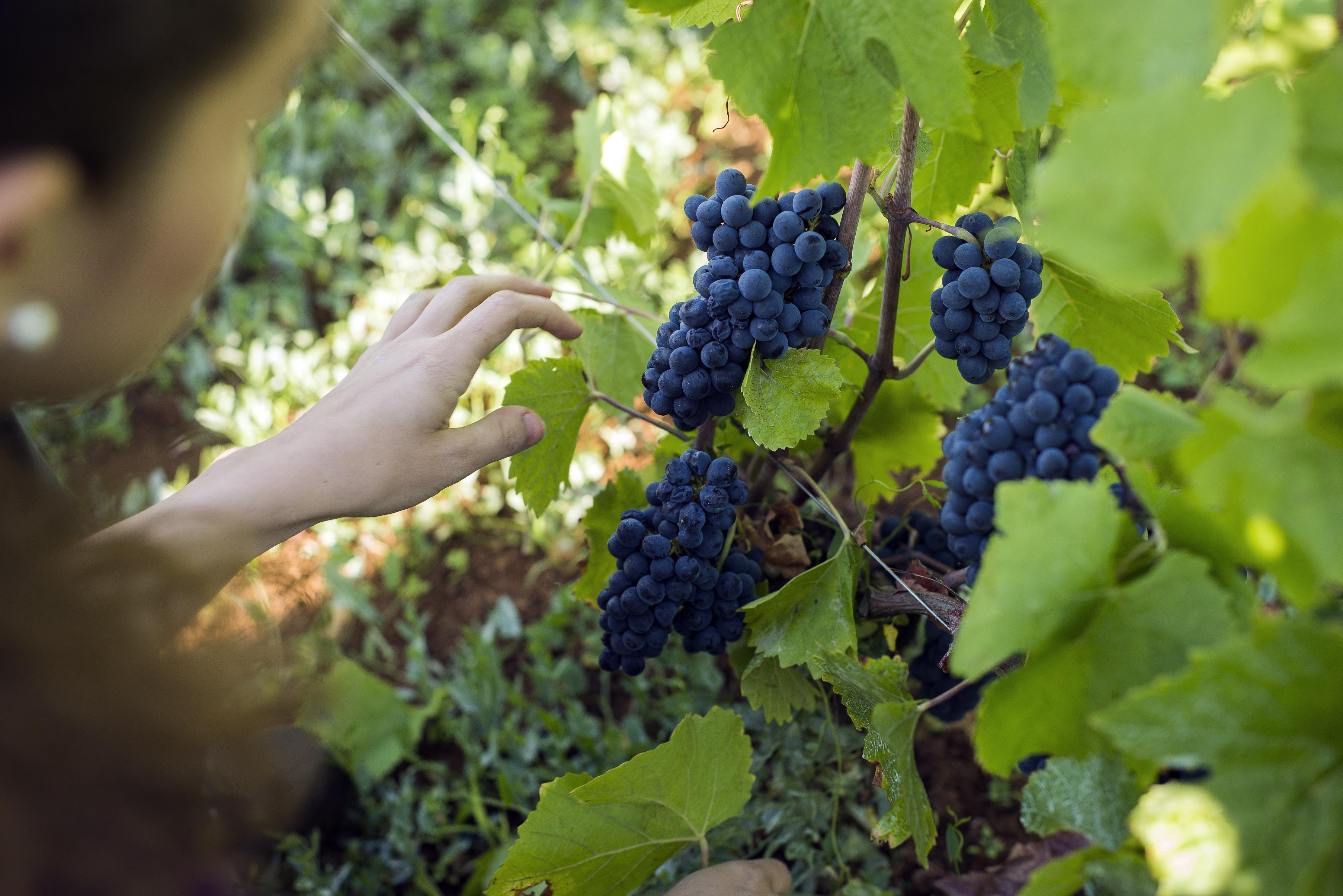 葡萄成熟时……